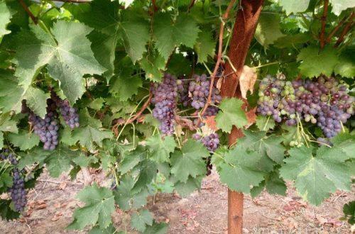 In the vineyard (23)